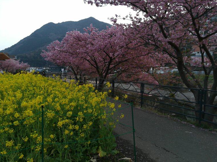 河津桜まつり会場に到着です。