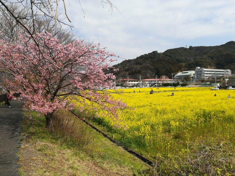 会場に来るときにみた日野の葉の花畑です 菜の花は一面綺麗に咲いてました