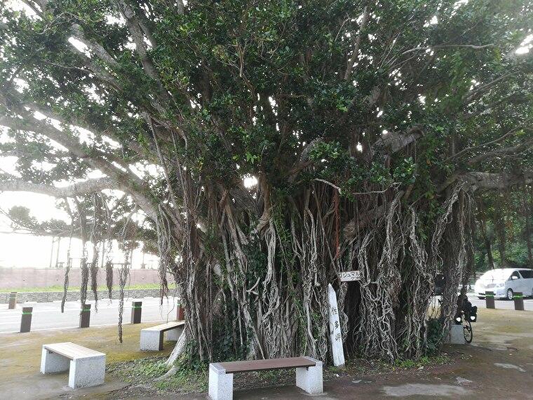 ガジュマルの木がお出迎えしてくれます